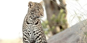 Leopard at Ngama Safari Lodge